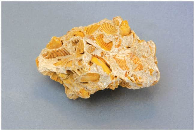 American Educational Products Individual Rock Specimen: Limestone, Fossiliferous Buff