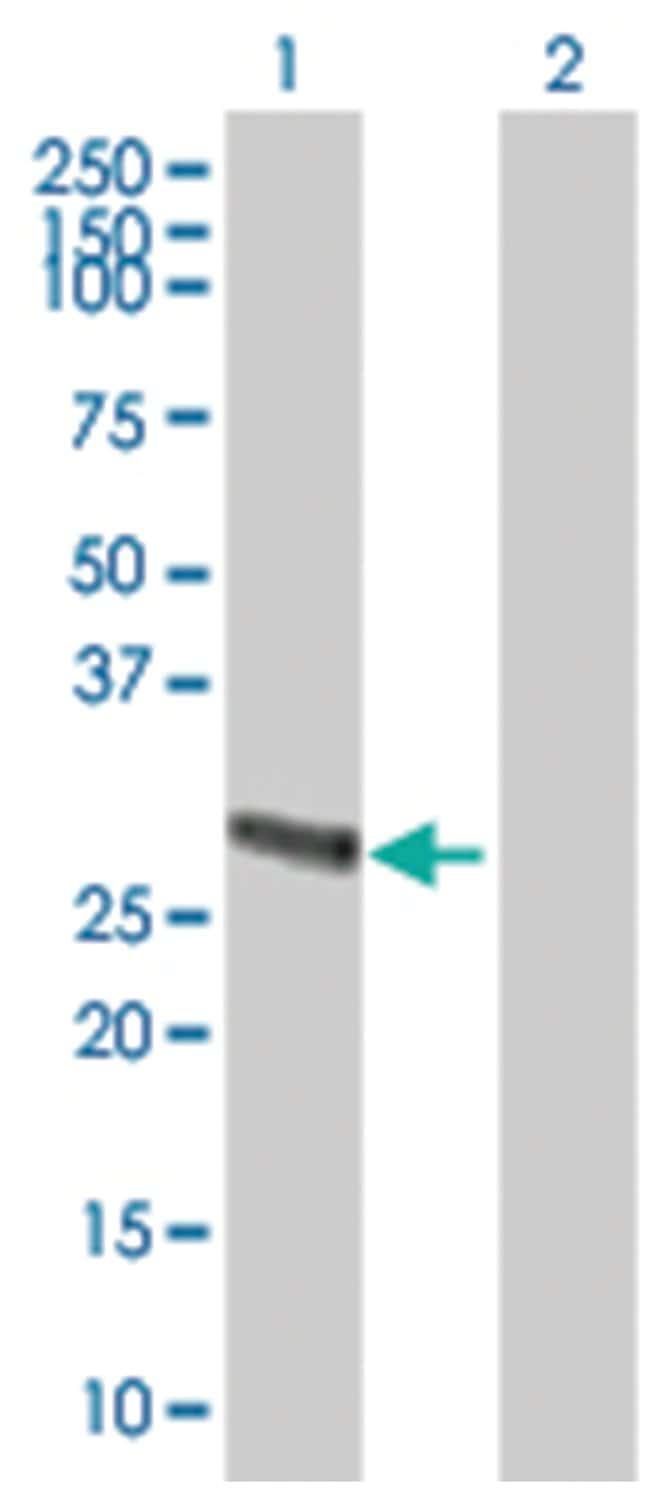 METTL9 Mouse anti-Human, Purified MaxPab Polyclonal , Abnova 50μg; Unlabeled:Antibodies