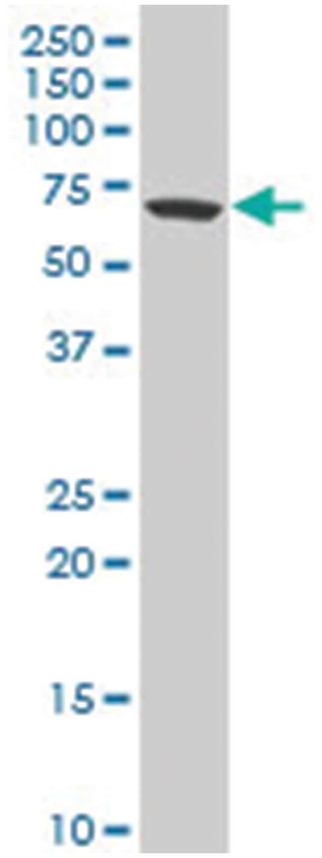 zinc finger protein 169 (A01), Mouse anti-Human, Polyclonal Antibody, Abnova
