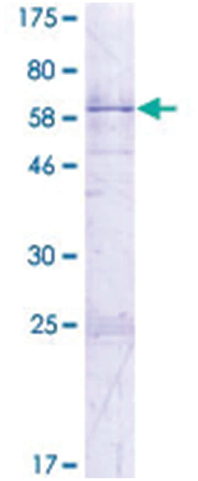 HNRPA1 Recombinant Protein, Abnova:Life Sciences:Protein Biology