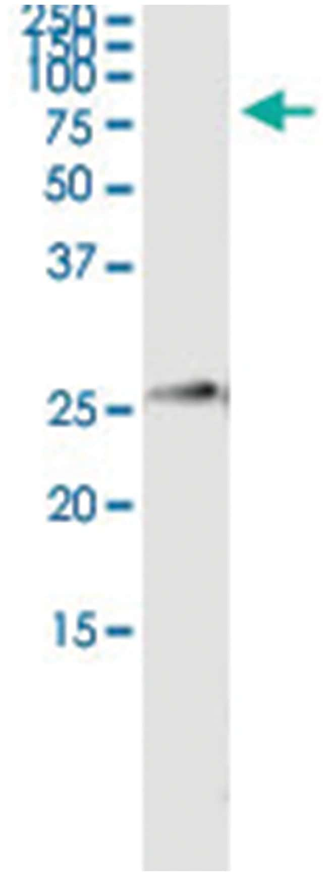 IGKC, Human, IP-WB Antibody Pair (PW3), Abnova 1 Set:Life Sciences