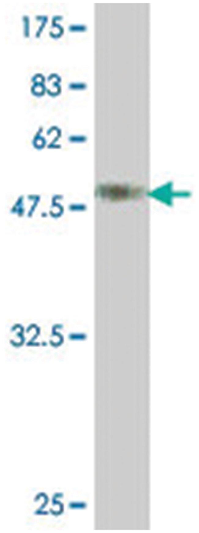MPZ, Mouse, Polyclonal Antibody, Abnova 50µL; Unlabeled