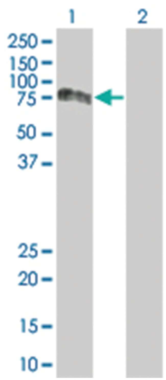 PVRL2 293T Cell Overexpression Lysate (Denatured), Abnova 100µL:Life