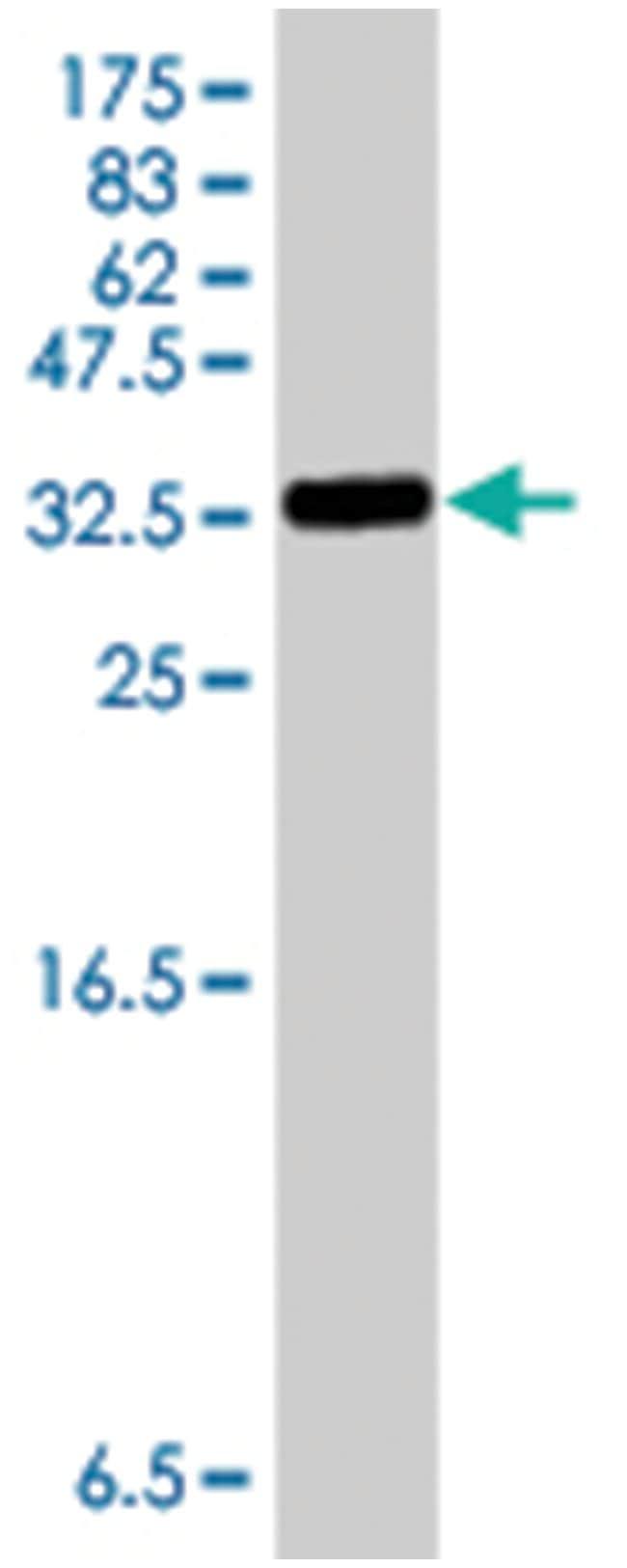 S100A1, Mouse, Polyclonal Antibody, Abnova 50µL; Unlabeled