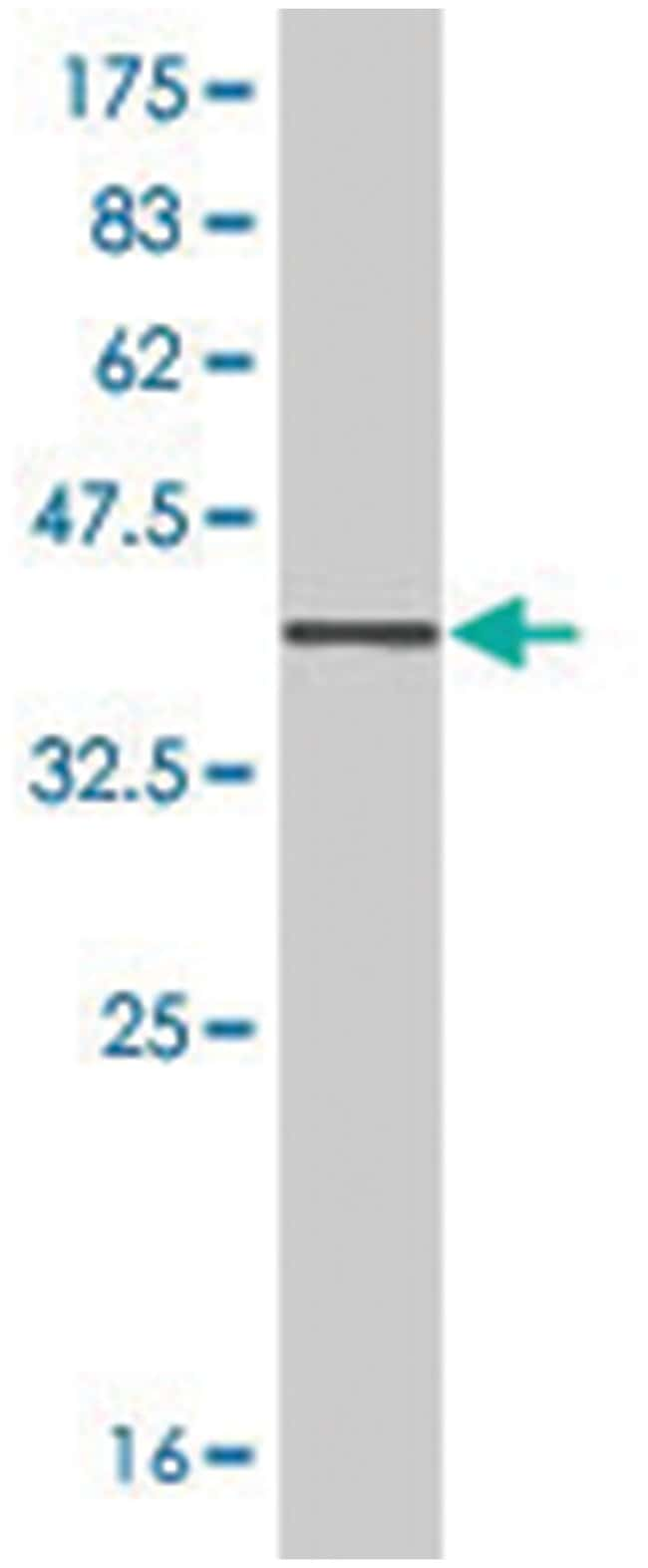 SFPQ, Mouse, Polyclonal Antibody, Abnova™ 50μL; Unlabeled Primary Antibodies Sa to Sg