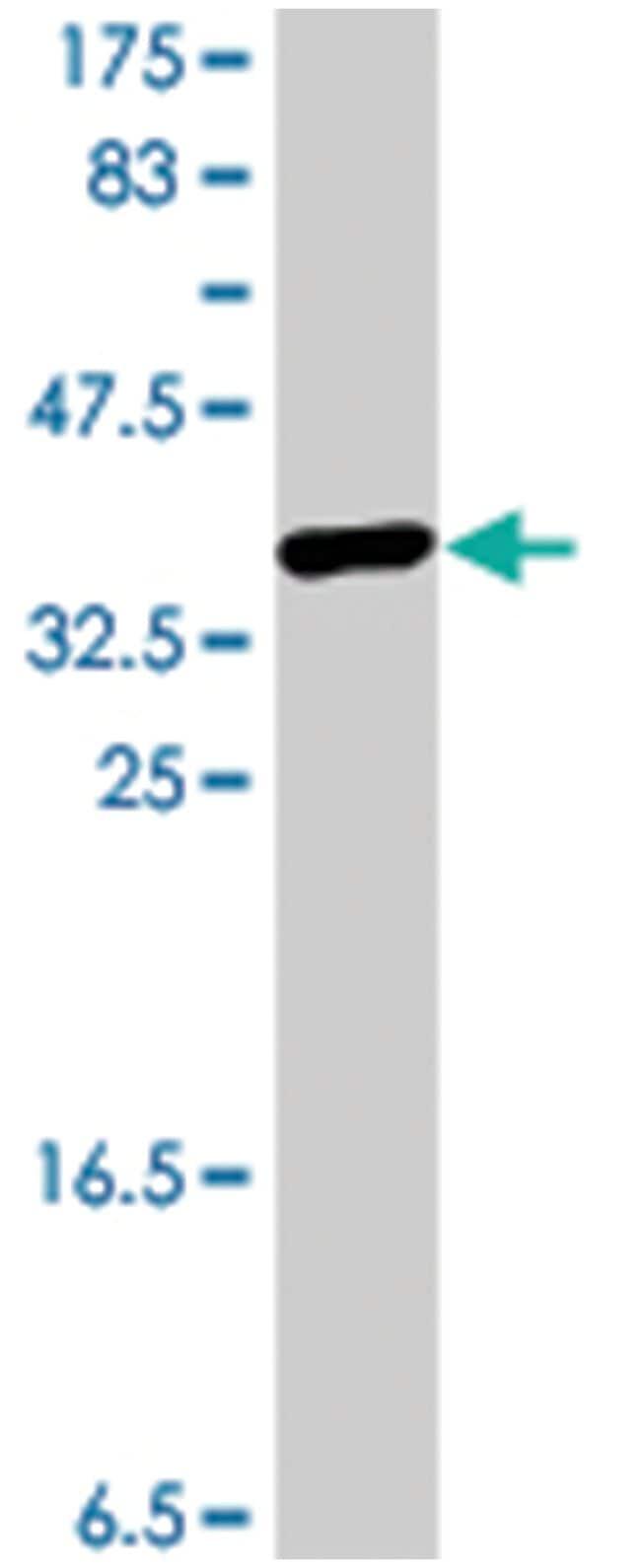 MFN2, Mouse, Polyclonal Antibody, Abnova 50µL; Unlabeled