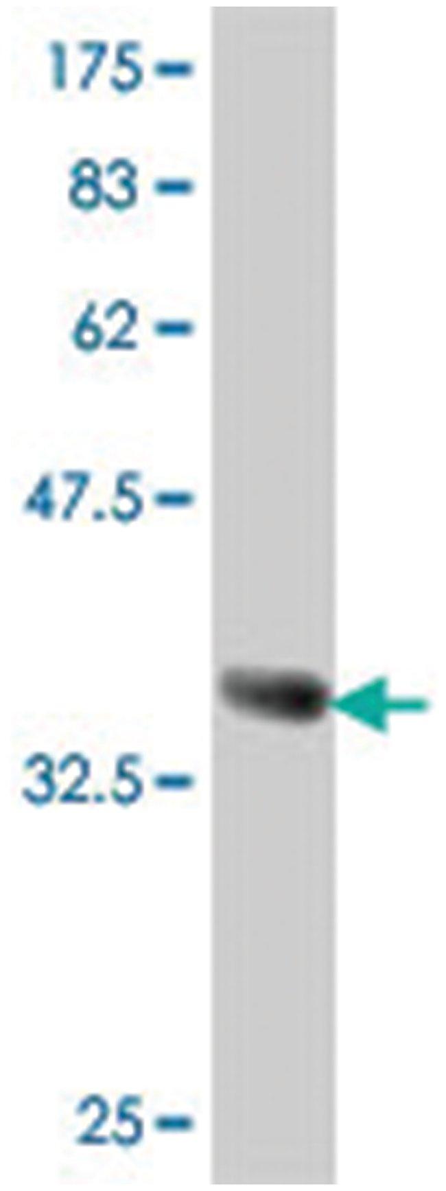 DLL1, Mouse, Polyclonal Antibody, Abnova 50µL; Unlabeled