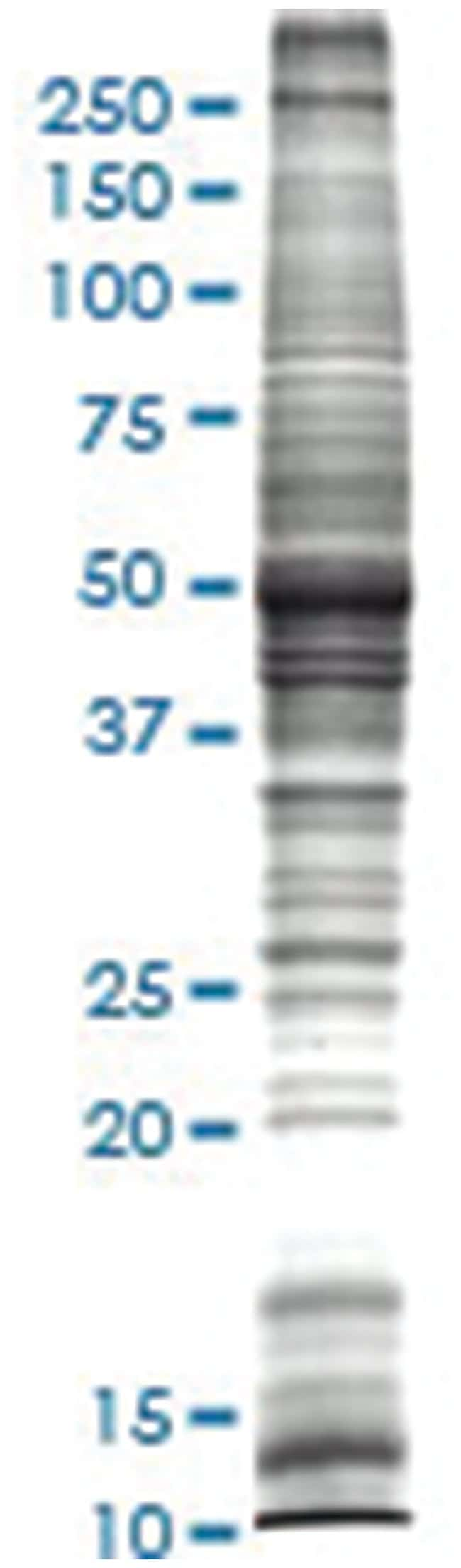 Rat brain tissue lysate, Denatured; Abnova 50μg:Protein Analysis Reagents