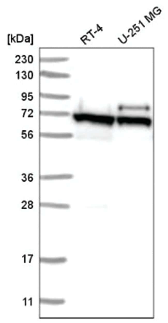 ABCE1 Rabbit anti-Human, Polyclonal, Novus Biologicals 100µL; Unlabeled