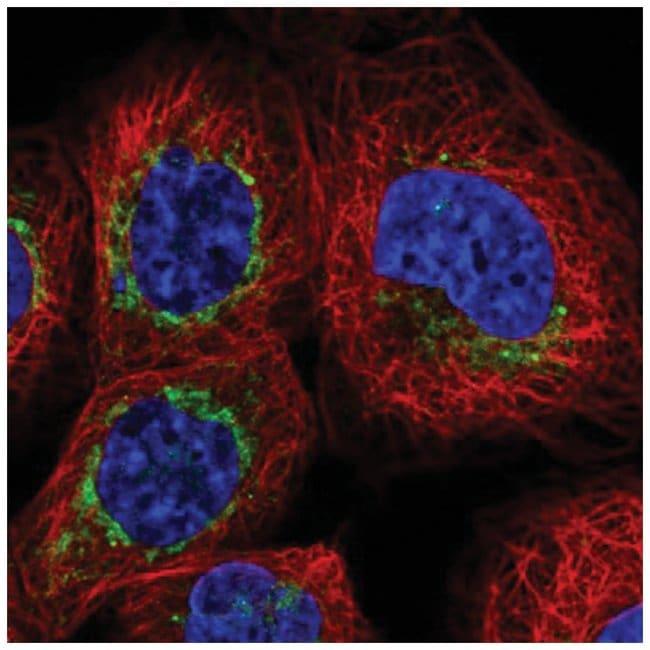 Bcl rambo Rabbit anti-Human, Polyclonal, Novus Biologicals 100µL;