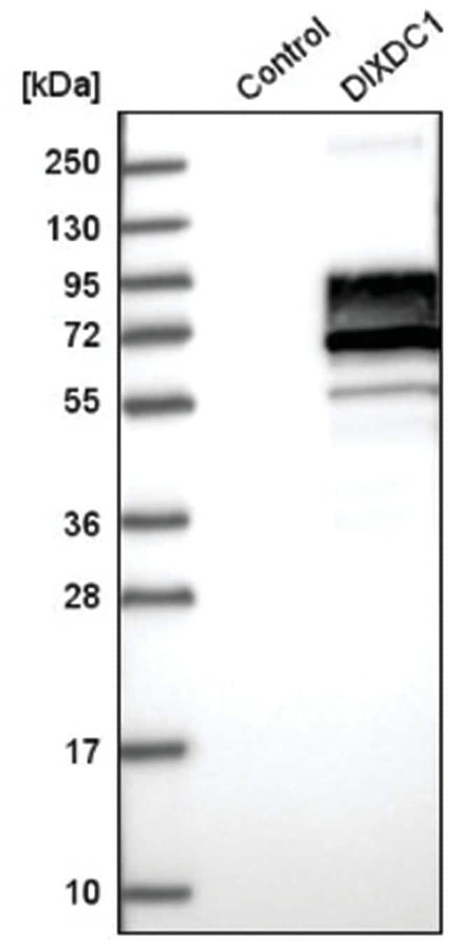 Ccd1/DIXDC1 Rabbit anti-Human, Polyclonal, Novus Biologicals 100µL;