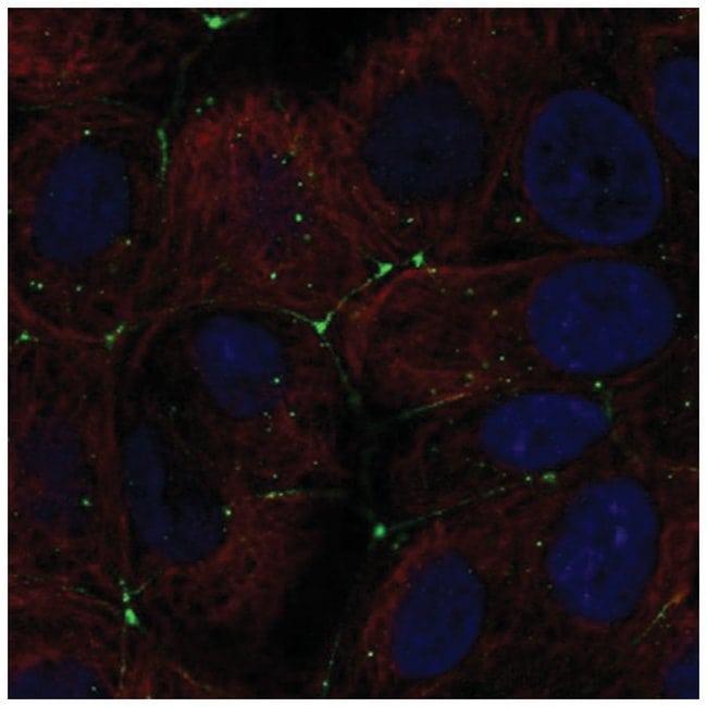Claudin-9 Rabbit anti-Human, Polyclonal, Novus Biologicals 100µL;