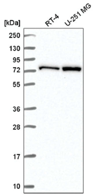 CTP synthase Rabbit anti-Human, Polyclonal, Novus Biologicals 100µL;