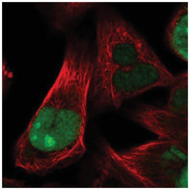 HJURP Rabbit anti-Human, Polyclonal, Novus Biologicals 100µL; Unlabeled