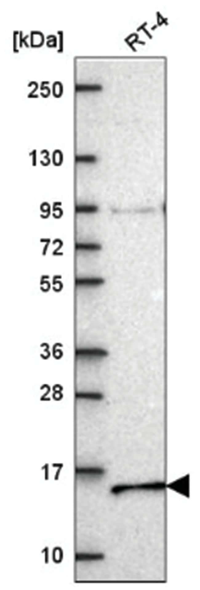 NDUFA7 Rabbit anti-Human, Polyclonal, Novus Biologicals 100µL; Unlabeled