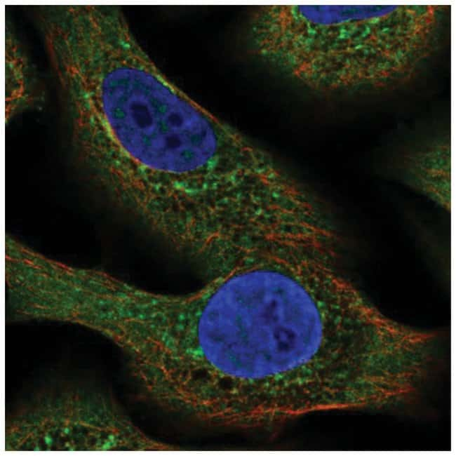 NLRP2/NALP2 Rabbit anti-Human, Polyclonal, Novus Biologicals 100µL;