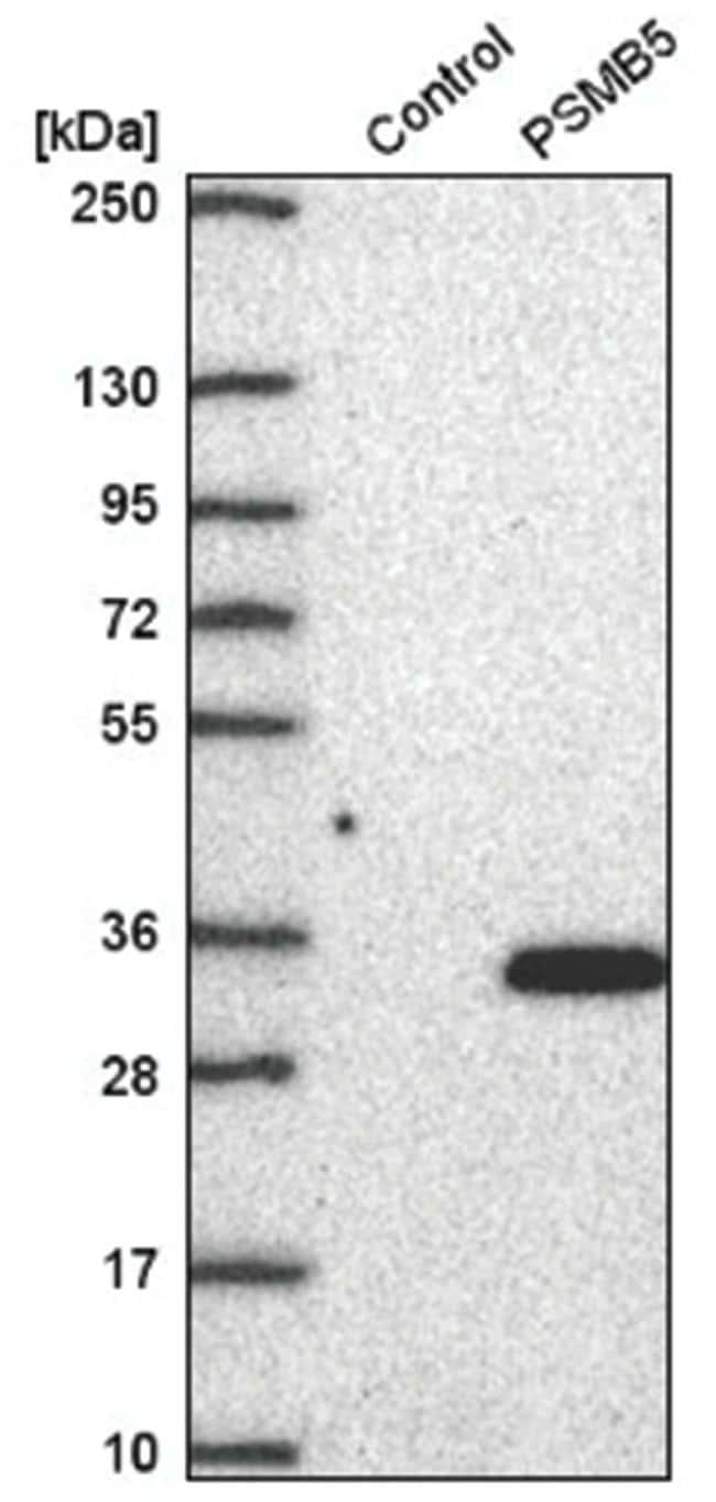 PSMB5 Rabbit anti-Human, Polyclonal, Novus Biologicals 100µL; Unlabeled