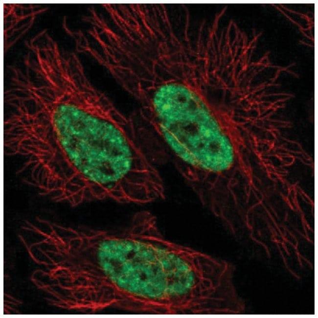SFRS12 Rabbit anti-Human, Polyclonal, Novus Biologicals 100µL; Unlabeled