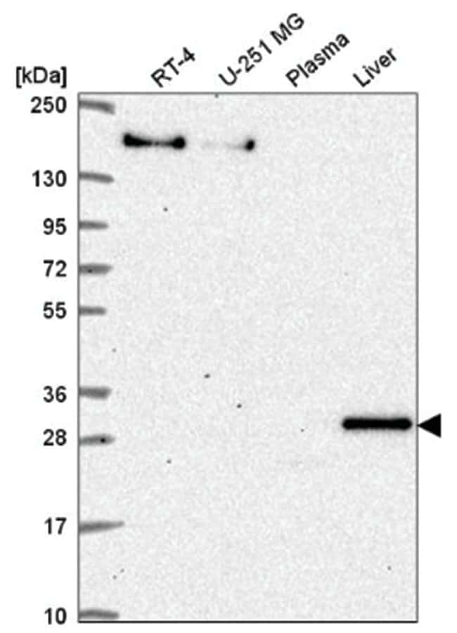 SH3BP5 Rabbit anti-Human, Polyclonal, Novus Biologicals 100µL; Unlabeled