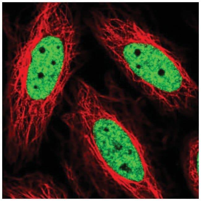 THRAP3 Rabbit anti-Human, Polyclonal, Novus Biologicals 100µL; Unlabeled