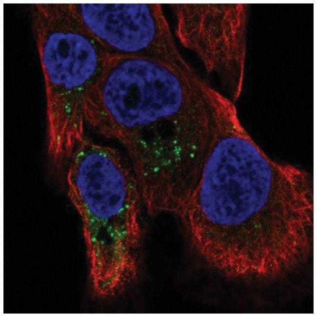 TMBIM1 Rabbit anti-Human, Polyclonal, Novus Biologicals 100µL; Unlabeled