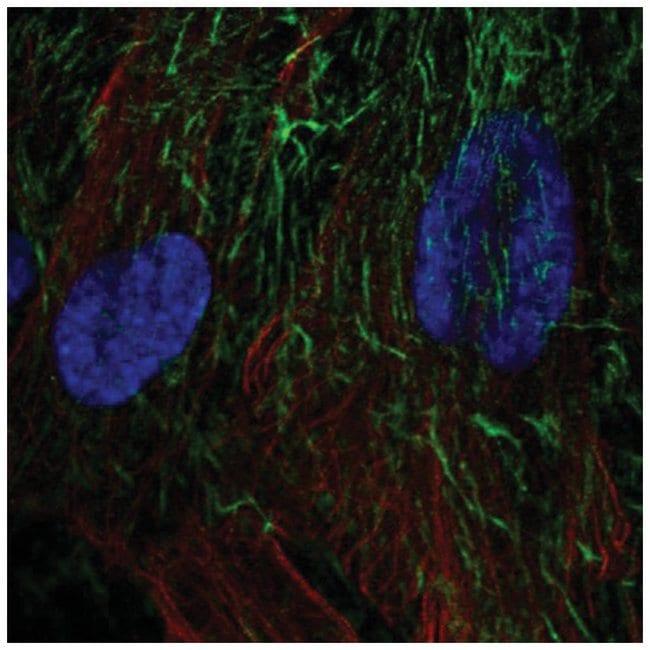 TRAILR4/TNFRSF10D/DcR2 Rabbit anti-Human, Polyclonal, Novus Biologicals