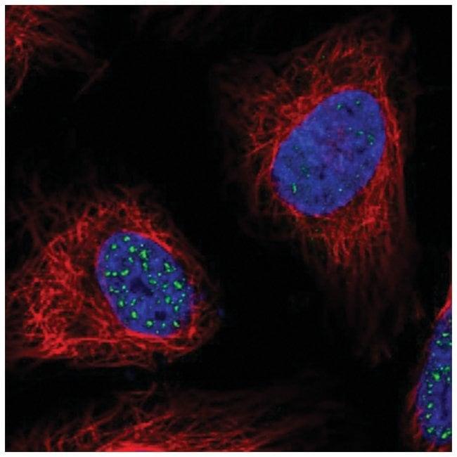 WDR90 Rabbit anti-Human, Polyclonal, Novus Biologicals 100µL; Unlabeled
