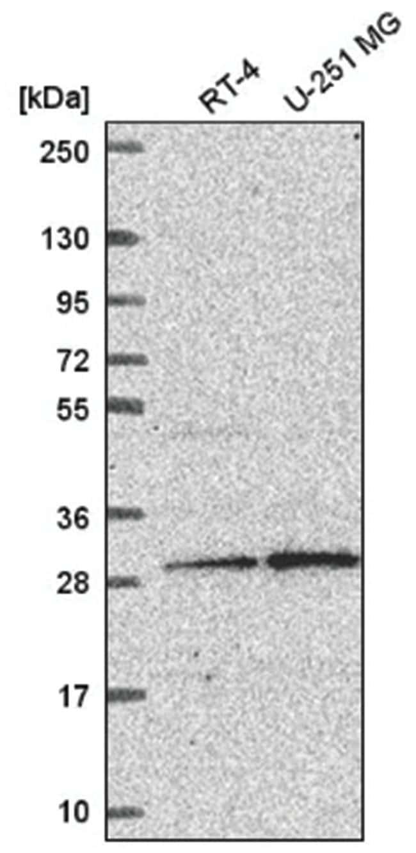YIF1B Rabbit anti-Human, Polyclonal, Novus Biologicals 100µL; Unlabeled