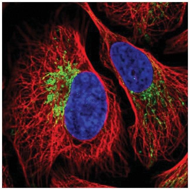 ZNF211 Rabbit anti-Human, Polyclonal, Novus Biologicals 100µL; Unlabeled