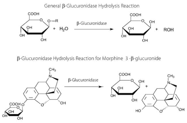 MP Biomedicals™ Beta-Glucuronidase
