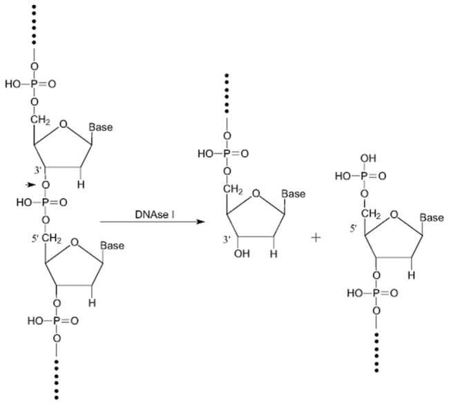 Desoxirribonucleasa I de páncreas bovino, MP Biomedicals™ 10mU Desoxirribonucleasa I de páncreas bovino, MP Biomedicals™