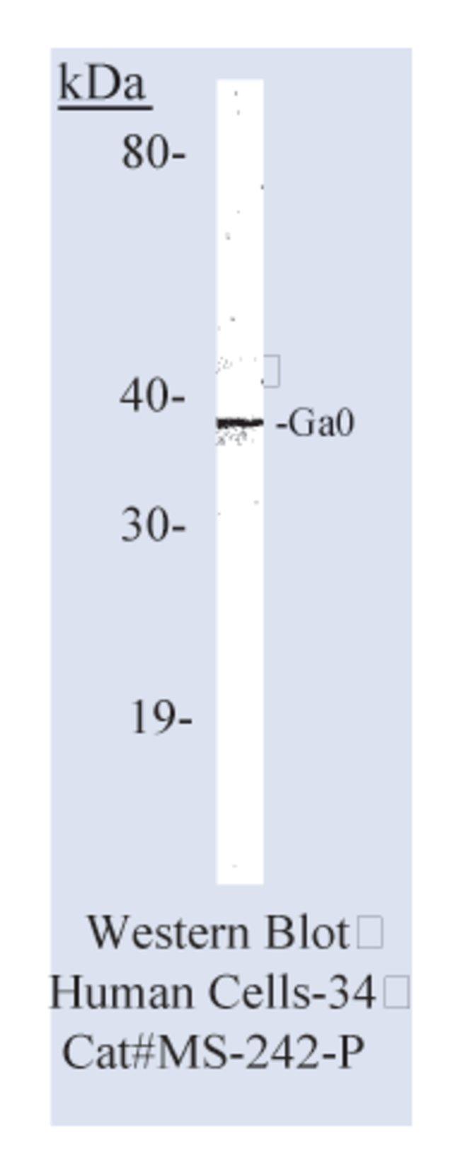 anti-Go G-Protein Ab-2, Clone: 2A.3, Thermo Scientific Lab Vision::