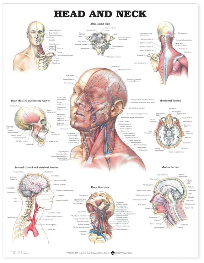 Anatomical Chart Series Anatomy And Injuries Of The Head And Neck