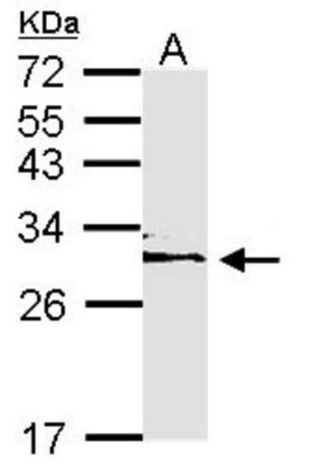 anti-14-3-3 epsilon, Polyclonal, Novus Biologicals 0.1mL; Unlabeled:Antibodies