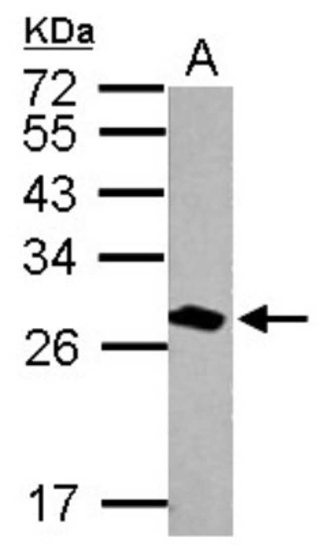 anti-14-3-3 tau/theta, Polyclonal, Novus Biologicals 0.1mL; Unlabeled:Antibodies