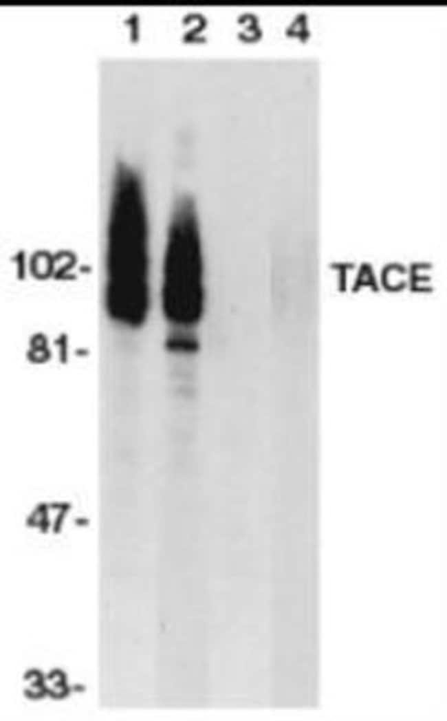 Novus Biologicals TACE/ADAM17 Peptide 0.05mg:Life Sciences