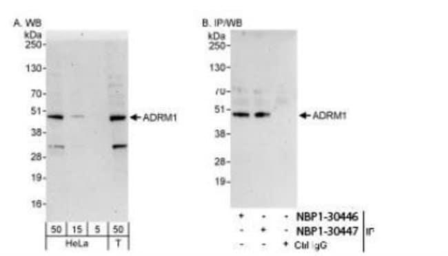ADRM1 Rabbit anti-Human, Polyclonal, Novus Biologicals 0.1mg; Unlabeled:Life