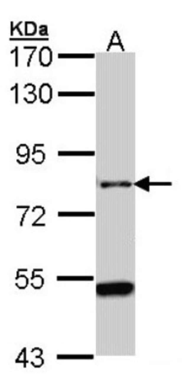 anti-AGAP1, Polyclonal, Novus Biologicals 0.1mg; Unlabeled:Life Sciences
