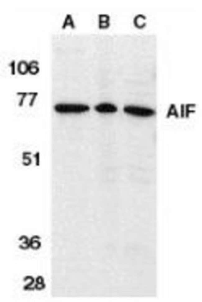 anti-AIF, Polyclonal, Novus Biologicals 0.1mg; Unlabeled:Life Sciences