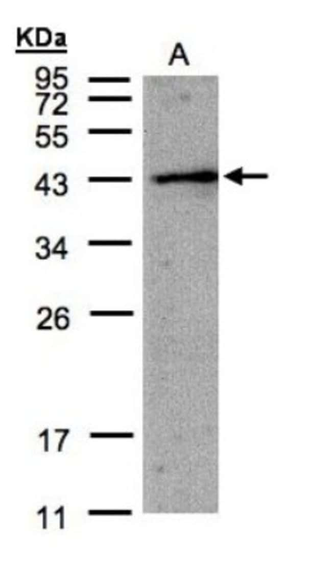 anti-AMID, Polyclonal, Novus Biologicals 0.1mg; Unlabeled:Life Sciences