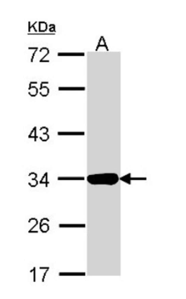 anti-Annexin A4, Polyclonal, Novus Biologicals 0.1mL; Unlabeled:Antibodies