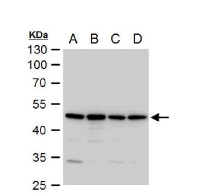 anti-Annexin A7, Polyclonal, Novus Biologicals 0.1mL; Unlabeled:Life Sciences
