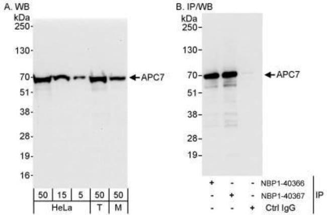 anti-Apc7, Polyclonal, Novus Biologicals 0.1mL; Unlabeled:Life Sciences
