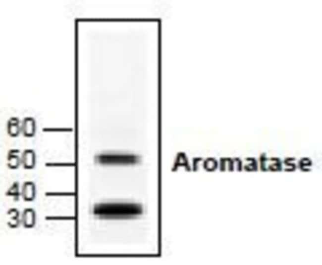 anti-Aromatase, Polyclonal, Novus Biologicals 0.1mg; Unlabeled:Life Sciences