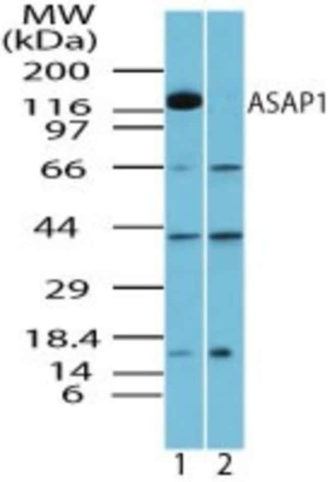 anti-ASAP1, Polyclonal, Novus Biologicals:Antibodies:Primary Antibodies