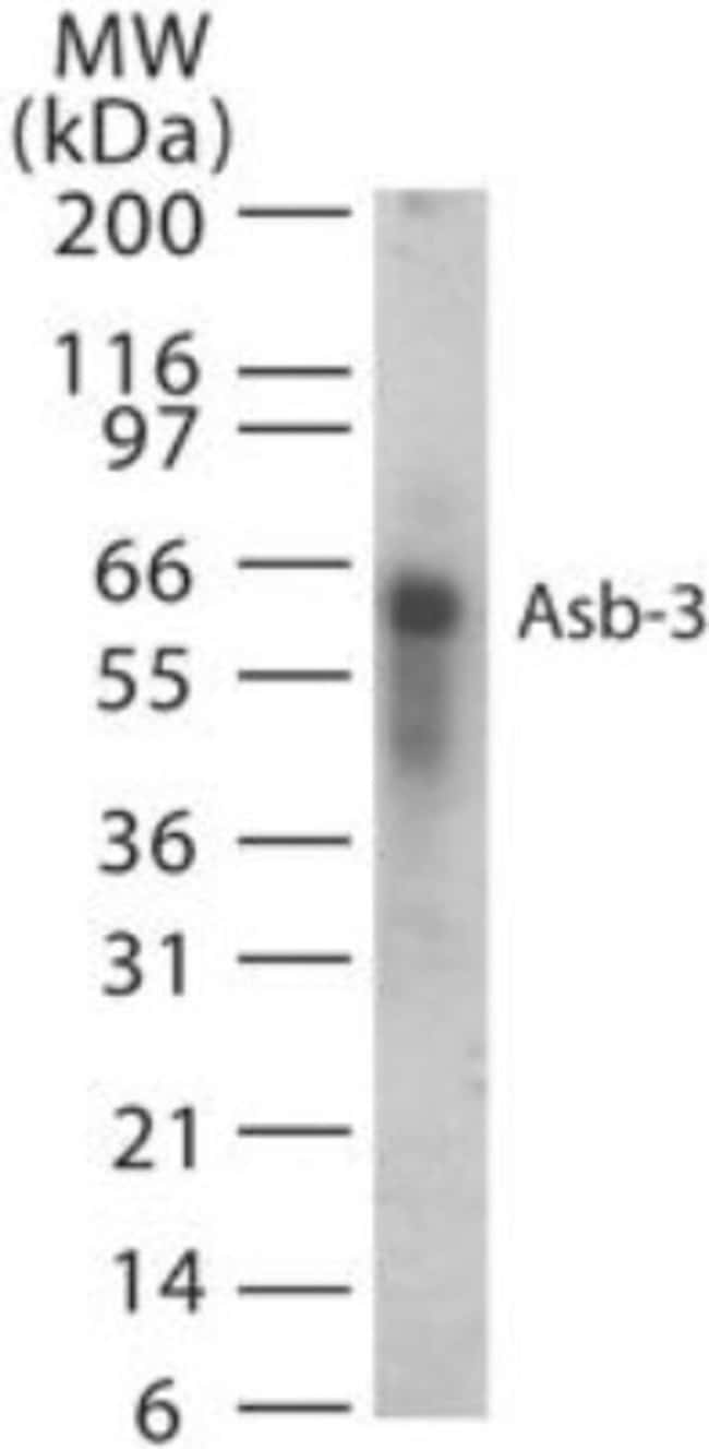 anti-ASB3, Polyclonal, Novus Biologicals:Antibodies:Primary Antibodies