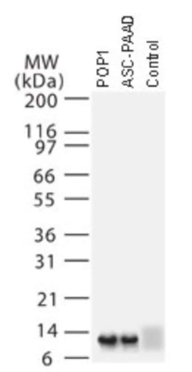ASC2 Rabbit anti-Human, Mouse, Polyclonal, Novus Biologicals:Antibodies:Primary