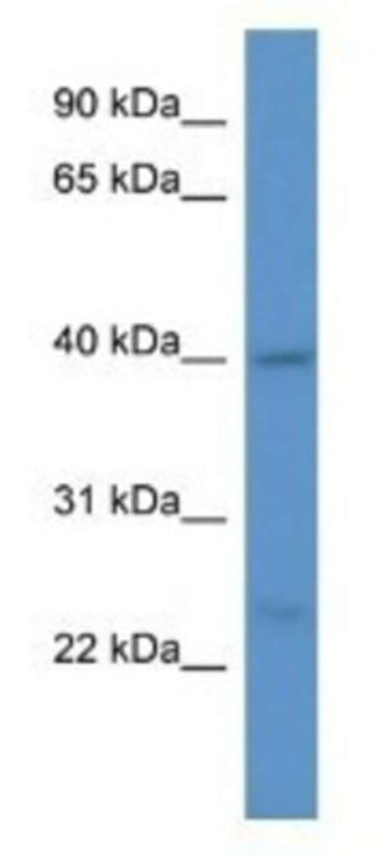 ASNA1 Rabbit anti-Human, Polyclonal, Novus Biologicals 20µL; Unlabeled