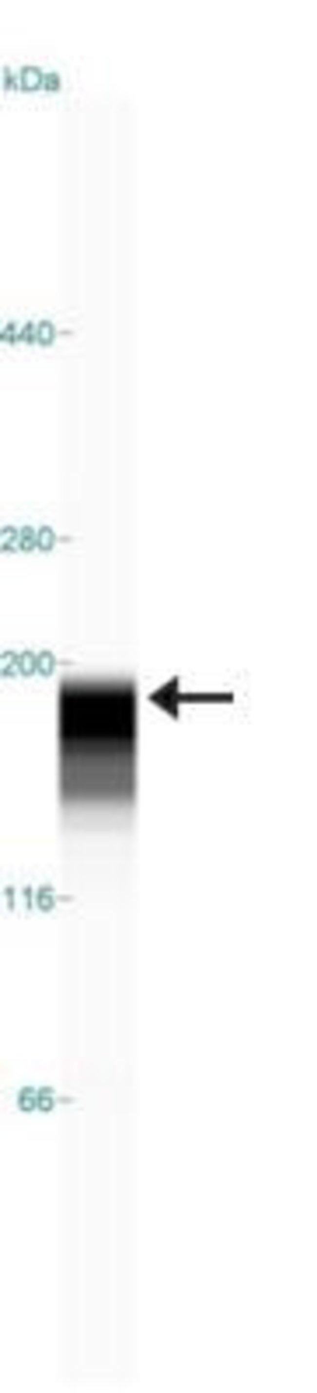anti-ATAD2, Polyclonal, Novus Biologicals:Antibodies:Primary Antibodies