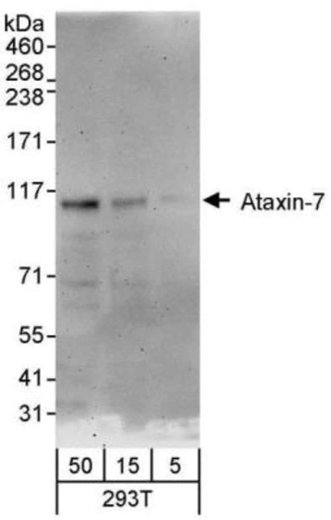 anti-Ataxin 7, Polyclonal, Novus Biologicals 0.1mg; Unlabeled:Life Sciences